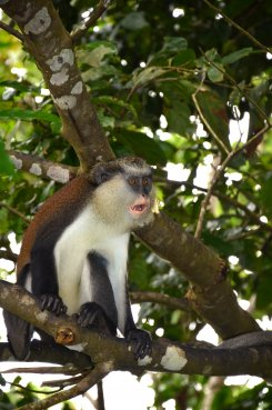 Grenada-Grand-Etang-Forest-Mona-Monkey